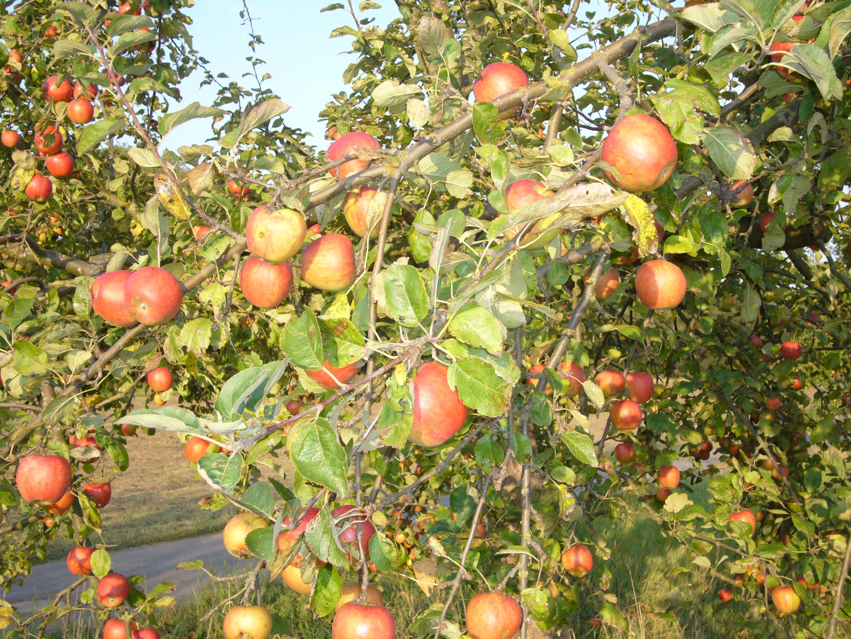 reiche Apfelernte (2)